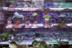Genetic Seed Bank (Purple-Algae)